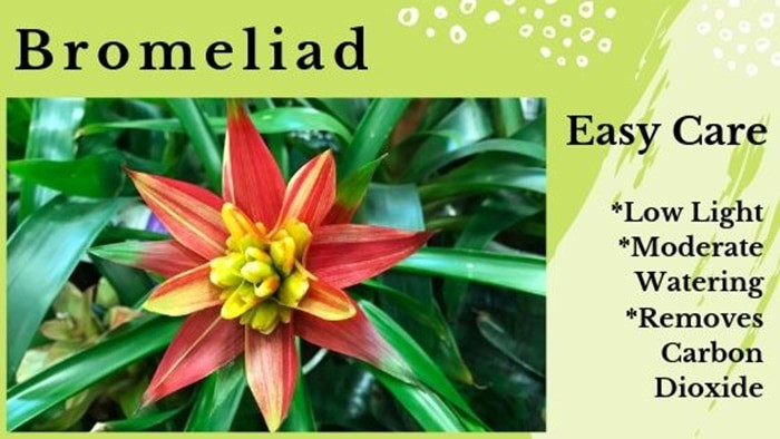 Best Plants for Sleep Bromeliad removes carbon dioxide from air