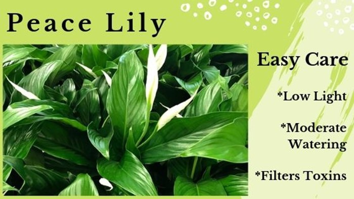Peace Lilies - Spathiphyllum