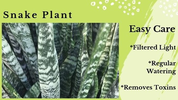 Snake Plant tough toxin remover from air
